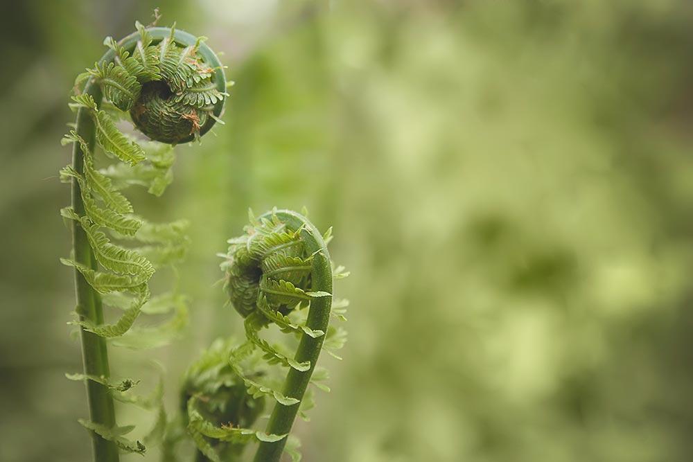 Unfurled fiddlehead ferns