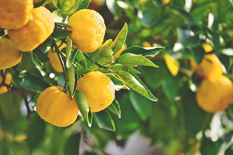 Chef's List of Unusual Citrus Fruits   Citrus Fruits List ...