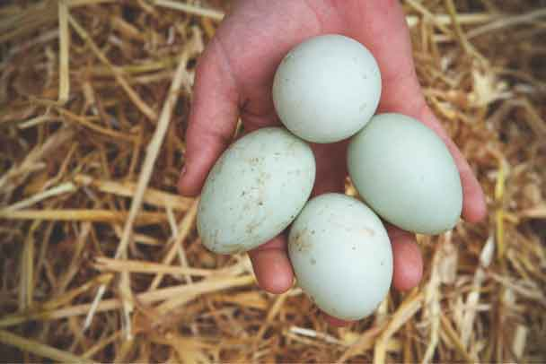 Blue Indian Runner duck eggs