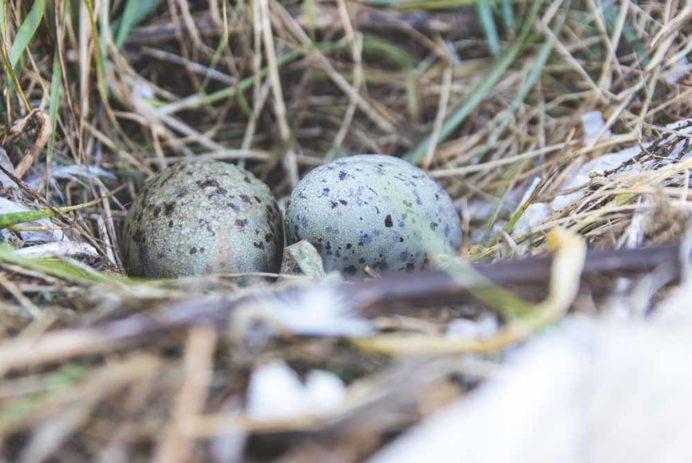Gull's eggs